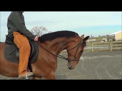 Just Started Under Saddle - Dutch Harness Horse