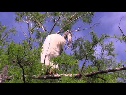 South Florida Swamp Wildlife and Birding - 1080p