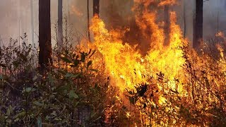How Forestry Scientists Use Fire to Restore the Long Leaf Pine Forest