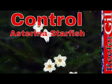 Asterina Starfish: How To Remove