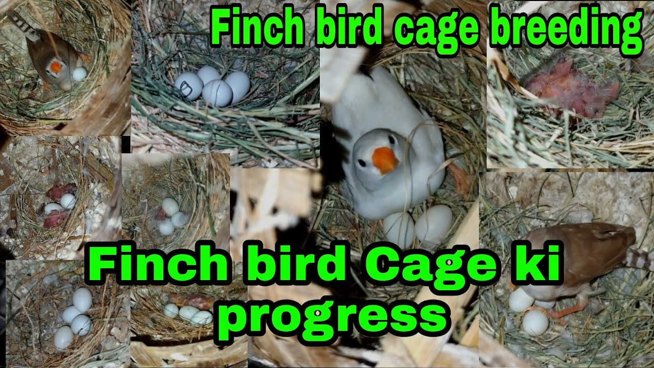 zebra finch cage progress   breeding progress zebra finch saparet cage   breeding progres Finch bird