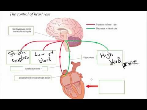 Hormonal and nervous control of heart rate - A2 Science