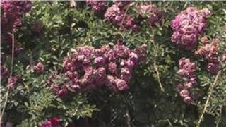 Rose Gardening : How to Care for Knock Out Roses