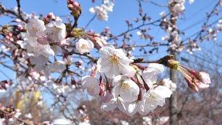 神戸で桜の開花宣言【王子動物園】