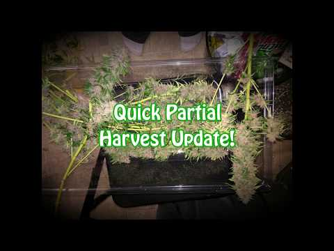 Partial Harvest Update - White Widow + Dark Star get chopped