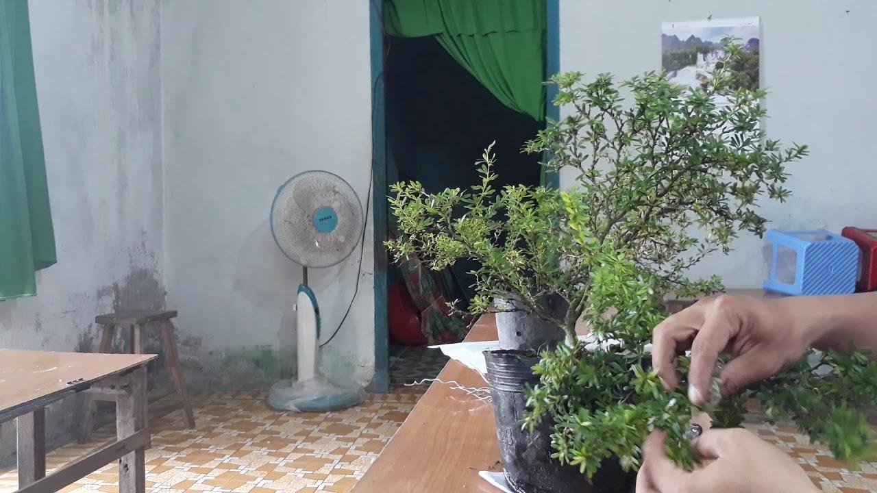 Cách uốn thế cây linh sam bonsai hai thân