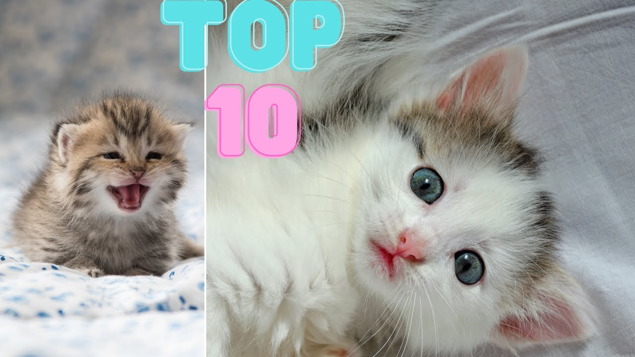 Top 10 Cute  Kittens in The World | The Pets Universe