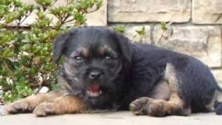 Border Terrier Izzee