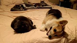 Cat sisters don't want to play with corgi