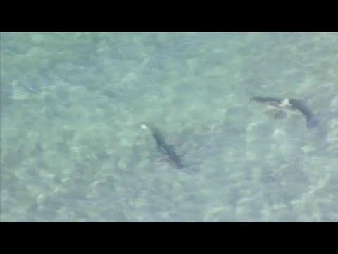 Sharks spotted near Dania Beach pier
