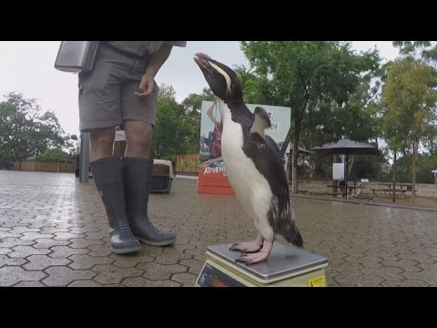 Munro the penguin is weighed to check he's bulking up before moulting season