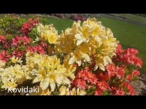 Цветы магнолии, красивейшие фото цветков весной