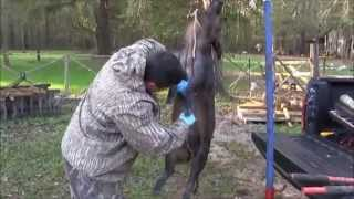 How to Field Dress Wild Pigs: Skinning and Butchering