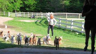 goat fails. goat screams