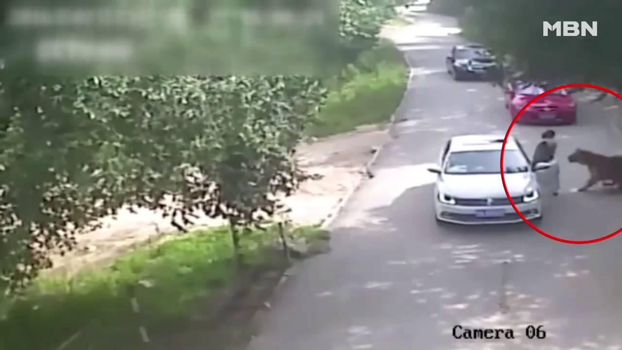 호랑이에게 물려간 여성 중국 사파리 공원 사고 Youtube