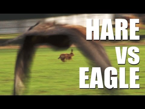 Fieldsports Britain - Hare vs eagle + British wild boar + Welsh miners hunting (episode 169)