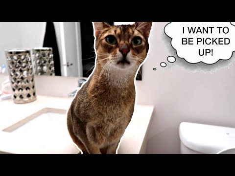 Abyssinian cat wants to be picked up (wait for it!) | CUTE CAT CLEO