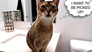 Abyssinian cat wants to be picked up (wait for it!)