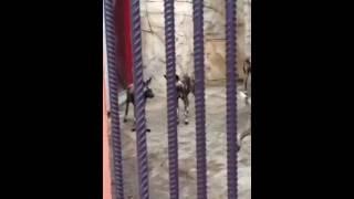 Гиеновидные собаки минский зоопарк