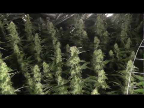 Hydroponic Medical Marijuana Grow - Sour Diesel - OG Kush - G-13 Day 38