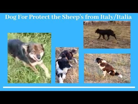 Dog For Protect the Sheep's from Italy/Italia - Bhola Shola