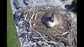 LIVE Town of Osoyoos Osprey Cam