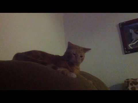 My cat hissing at his tail😆