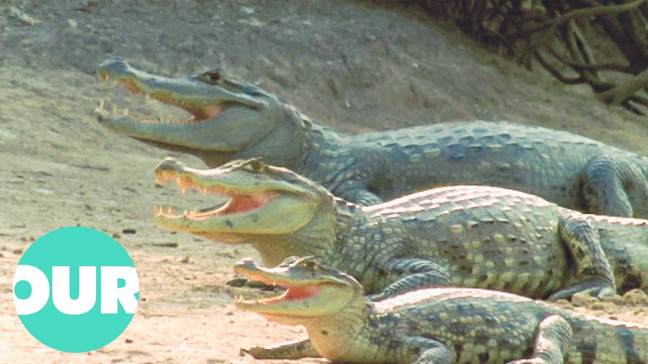 Download Crocodiles: The Living Dinosaurs | The Reptiles | Our World