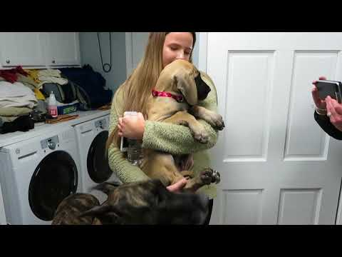 Finn comes home - a new Great Dane puppy