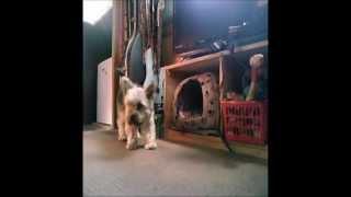 Yorkshire Terrier Football Training Joe Hart Replacement