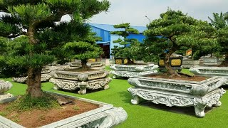 SH.298.Đồi Nhật Bản với những cây Tùng Bonsai đẳng cấp chỉ có ở Dũng Tân. Thái Nguyên.