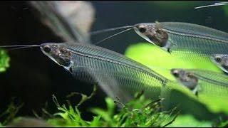 Стеклянный сом с острова Ява, Kryptopterus bicirrhis, аквариумные рыбки сомики