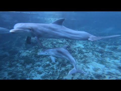 Dolphin Reproduction - Dolphin Quest