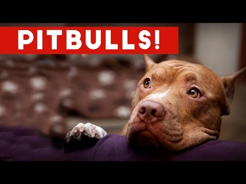 Funny Pitbull Compilation 2017 | Best Funny Pitbull Videos Ever