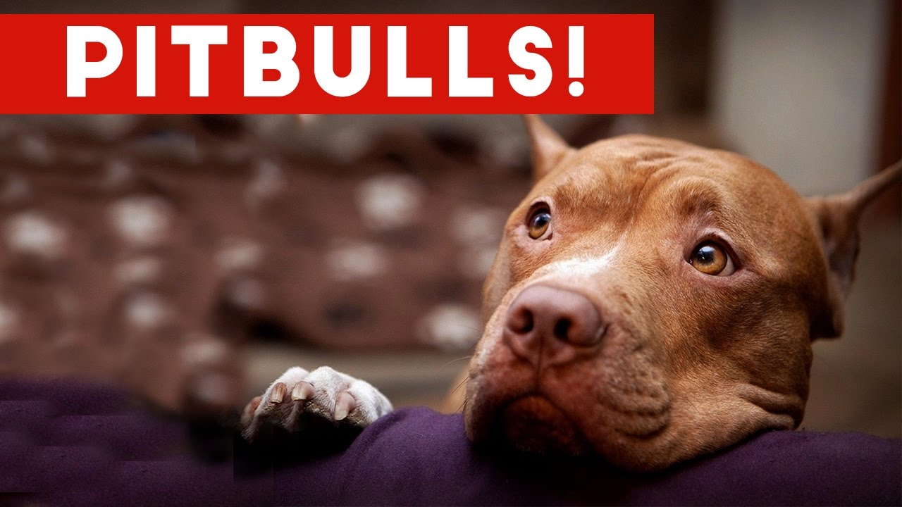 Funny Pitbull Compilation 2017 | Best Funny Pitbull Videos ...
