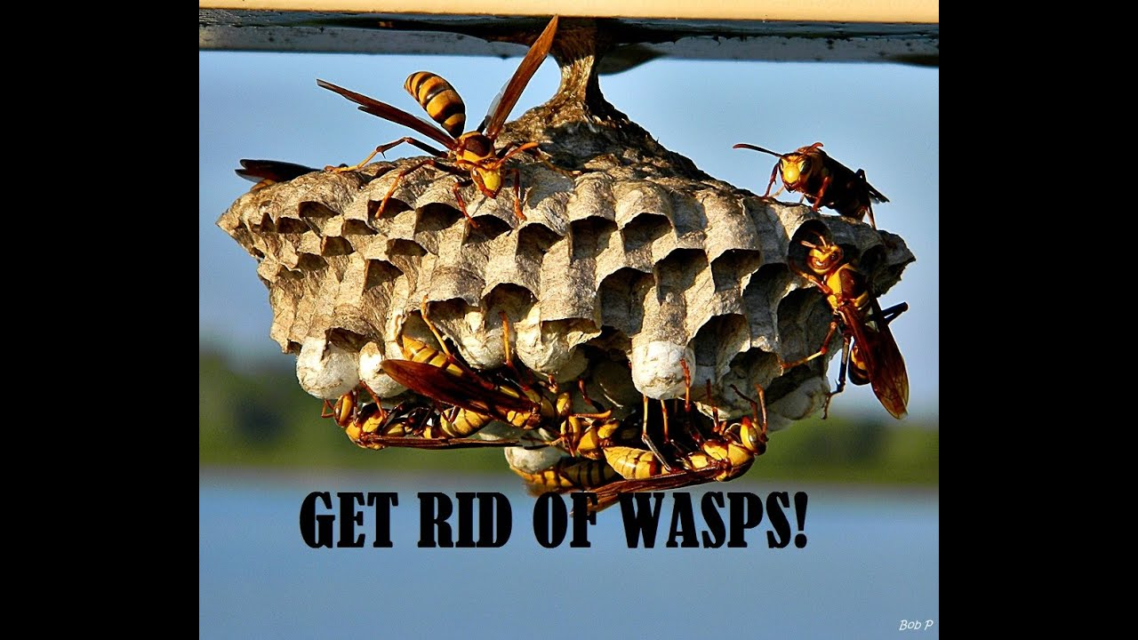 Get Rid Of Wasps And Keep Them Gone All Year