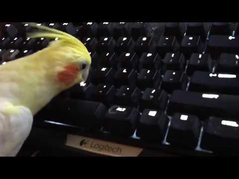 Cockatiel loves gaming 🎮