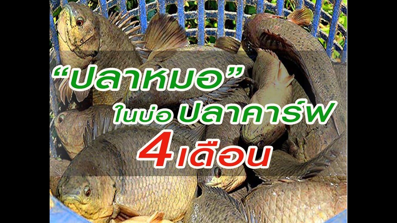#ปลาหมอในบ่อปลาคาร์ฟ4เดือน