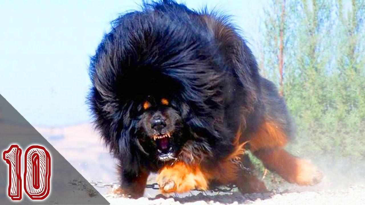 I 10 Cani Più Pericolosi Al Mondo 1 Youtube