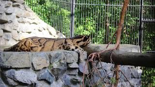Дымчатые леопарды...