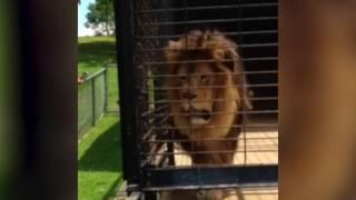 Lion give lady a little surprise