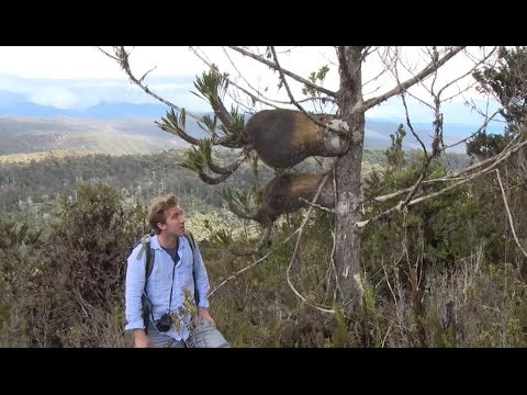 Rediscovery of Nepenthes paniculata in New Guinea