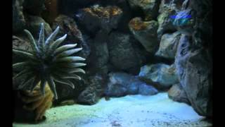 sunflower sea star time lapse footage