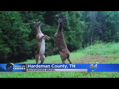 Caught On Camera: Deer Engage In Forest Fight