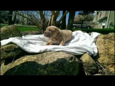 Pitbulls puppies For Sale