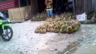 Musim Durian dan Buah-buahan di Masamba
