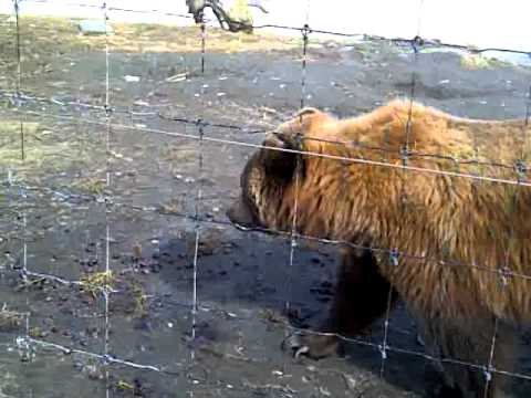 Brown Bear in Alaska, up close and personal