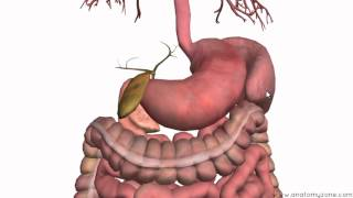 Introduction to the Digestive System Part 3 - Intestines and Beyond - 3D Anatomy Tutorial