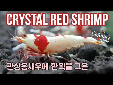 Bee Shrimp CRS.  한마리에 몇백만원에 거래되었던! 관상용새우에 한획을 그은 바로 그 새우!