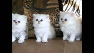 Персидская кошка, или перс (Persian cat) породы кошек( Slide show)!